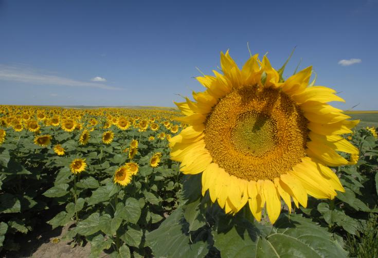 South Dakota Sunflowers